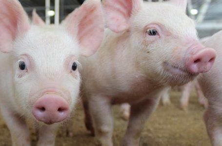 Rasele de porci crescute la Carmistin