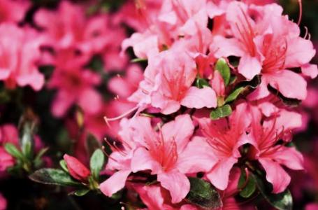 Azaleea – floarea aducătoare de noroc